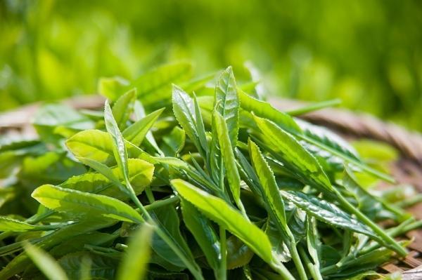 Lá trà xanh matcha Nhật tươi