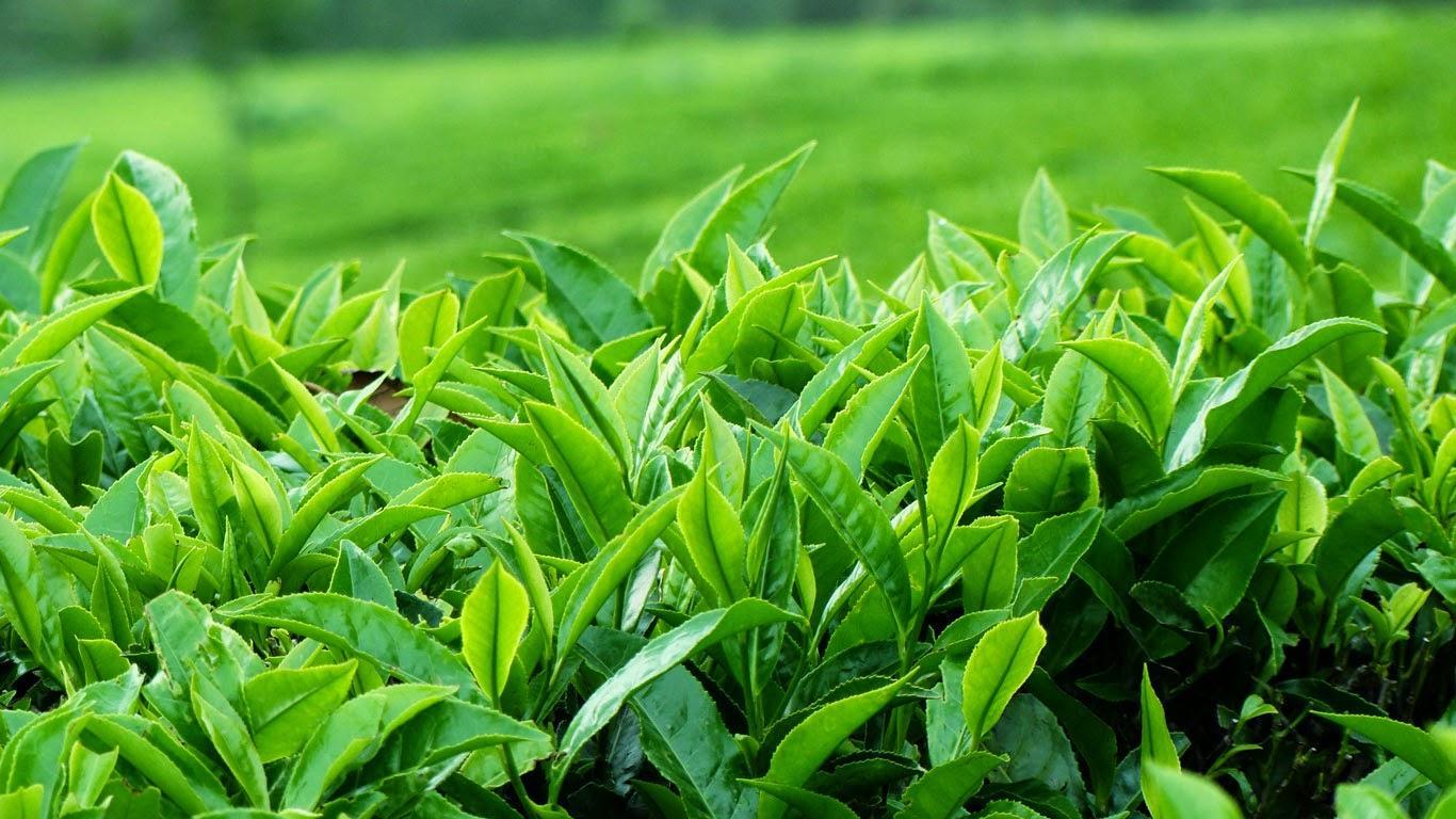 Lá trà xanh matcha Nhật Bản